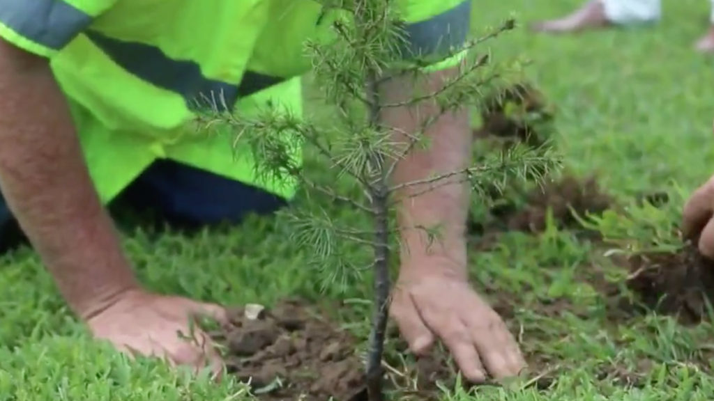 cedar tree lebanon